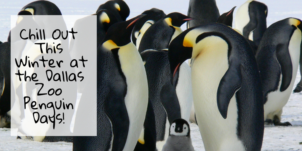 Dallas is cold in February, well as cold as Dallas gets. Grab your friends and family and chill with the penguins at the Dallas Zoo Penguin Days!